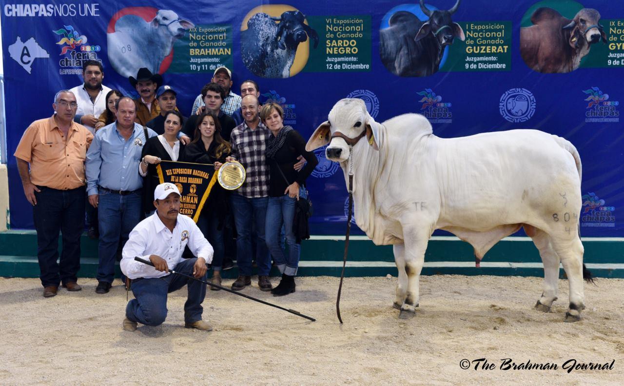 Chapopote 804 - Campeón Reservado Becerro - XlX Exposición Nacional de Brahman Tuxtla Gutierrez 2016