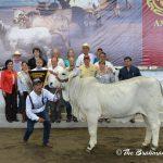 CAMPEONA RESERVADA BECERRA - LI EXPOSICIÓN NACIONAL DE GANADO CEBU VERACRUZ 2014