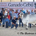 Campeón Joven Menor (LIII Exposición Nacional De Ganado Cebú. Tuxtla Gutierrez, Chiapas 2016)