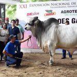 Campeón Joven Mayor (LIII Exposición Nacional De Ganado Brahman. Villahermosa, Tabasco 2018)